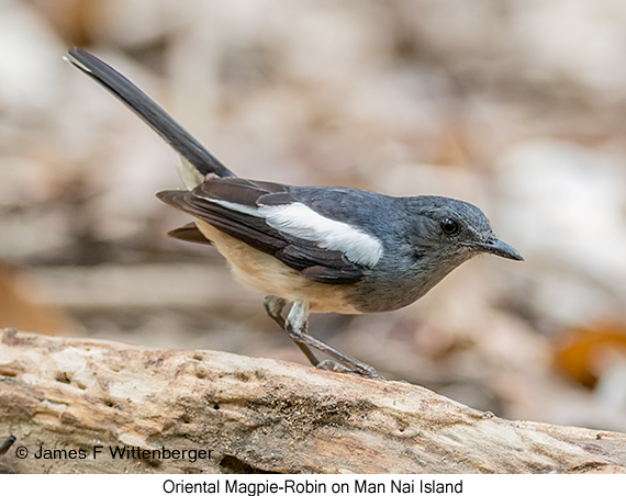 Oriental Magpie-Robin - © James F Wittenberger and Exotic Birding Tours