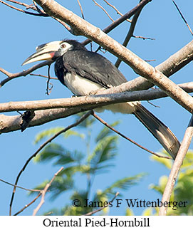 Oriental Pied-Hornbill - © James F Wittenberger and Exotic Birding Tours