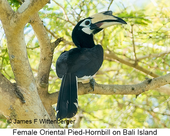 Oriental Pied-Hornbill - © James F Wittenberger and Exotic Birding LLC