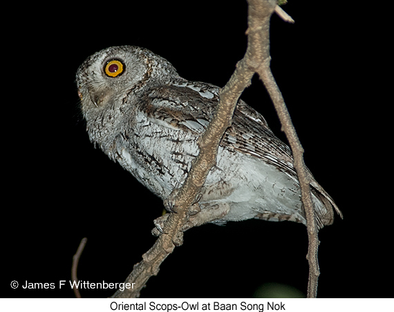 Oriental Scops-Owl - © James F Wittenberger and Exotic Birding Tours