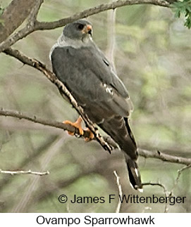 Ovambo Sparrowhawk - © James F Wittenberger and Exotic Birding LLC