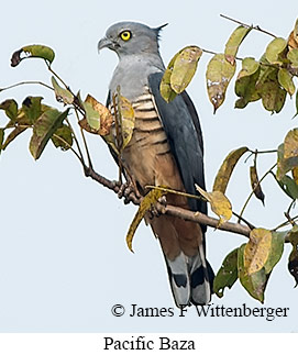 Pacific Baza - © James F Wittenberger and Exotic Birding Tours