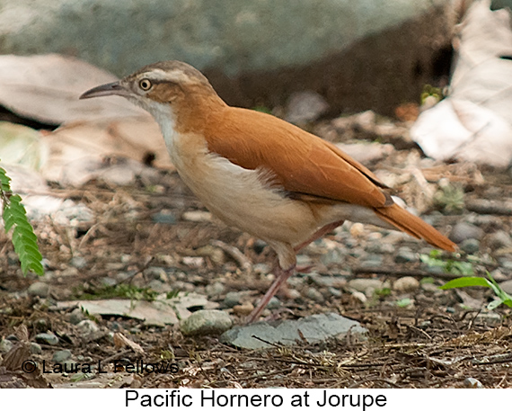 Pacific Hornero - © Laura L Fellows and Exotic Birding Tours