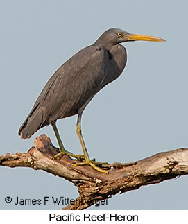 Pacific Reef-Heron - © James F Wittenberger and Exotic Birding LLC
