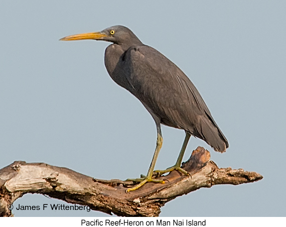Pacific Reef-Heron - © James F Wittenberger and Exotic Birding Tours