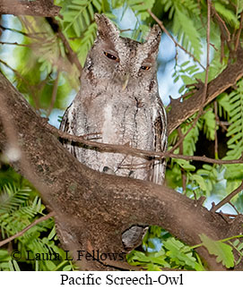 Pacific Screech-Owl - © Laura L Fellows and Exotic Birding LLC
