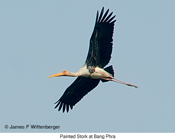 Painted Stork - © James F Wittenberger and Exotic Birding Tours