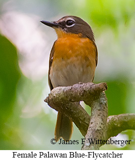 Palawan Blue Flycatcher - © James F Wittenberger and Exotic Birding Tours