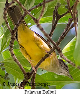 Gray-throated Bulbul - © James F Wittenberger and Exotic Birding Tours