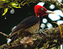 Pale-billed Woodpecker - © Laura L Fellows and Exotic Birding Tours