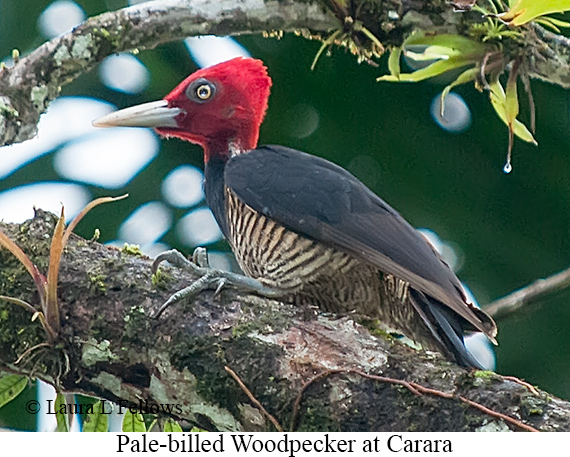 Pale-billed Woodpecker - © Laura L Fellows and Exotic Birding LLC