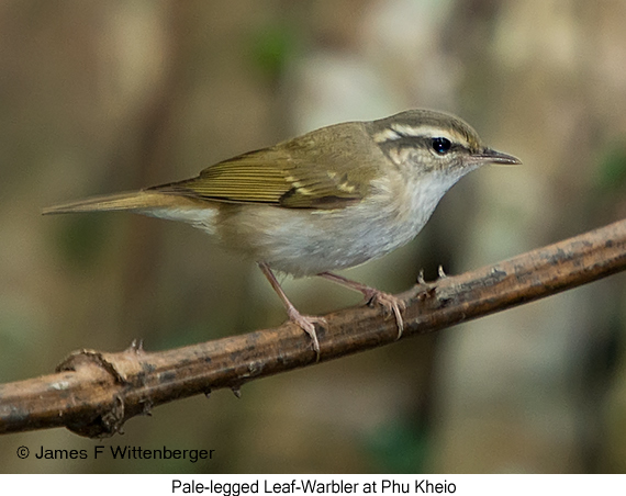 Pale-legged Leaf Warbler - © James F Wittenberger and Exotic Birding Tours