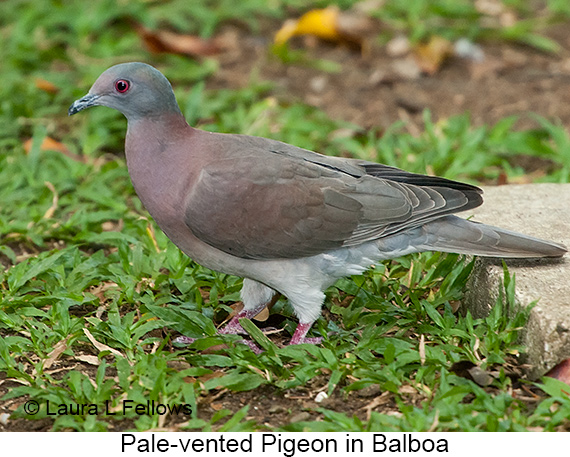 Pale-vented Pigeon - © The Photographer and Exotic Birding LLC