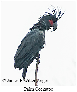 Palm Cockatoo - © James F Wittenberger and Exotic Birding Tours