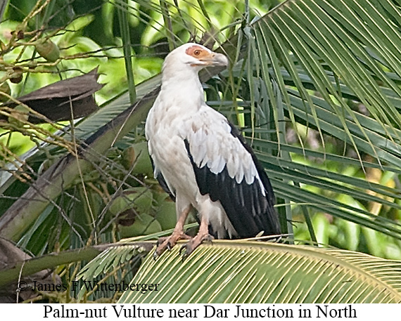 Palm-nut Vulture - © James F Wittenberger and Exotic Birding Tours