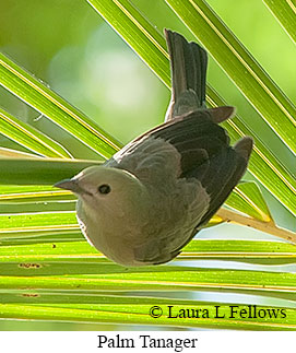 Palm Tanager - © Laura L Fellows and Exotic Birding Tours