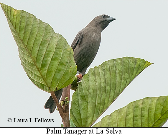Palm Tanager - © Laura L Fellows and Exotic Birding LLC
