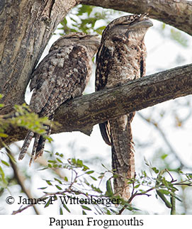 Papuan Frogmouth - © James F Wittenberger and Exotic Birding LLC