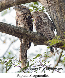 Papuan Frogmouth - © James F Wittenberger and Exotic Birding Tours