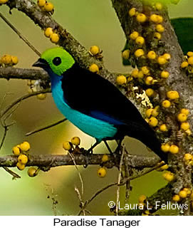 Paradise Tanager - © Laura L Fellows and Exotic Birding LLC