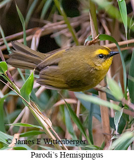 Parodi's Hemispingus - © James F Wittenberger and Exotic Birding Tours