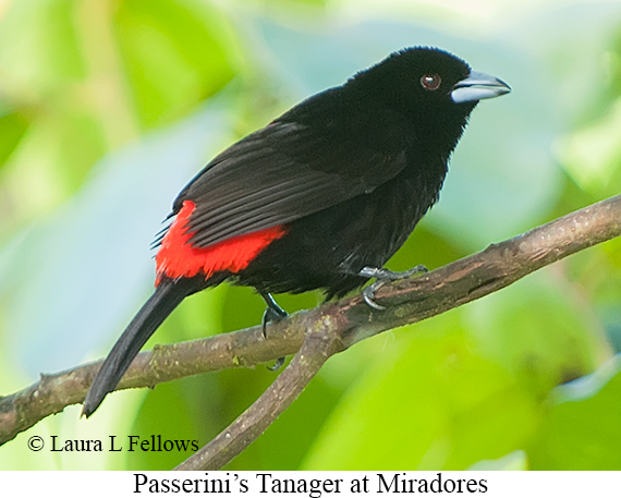 Passerini's Tanager - © The Photographer and Exotic Birding LLC