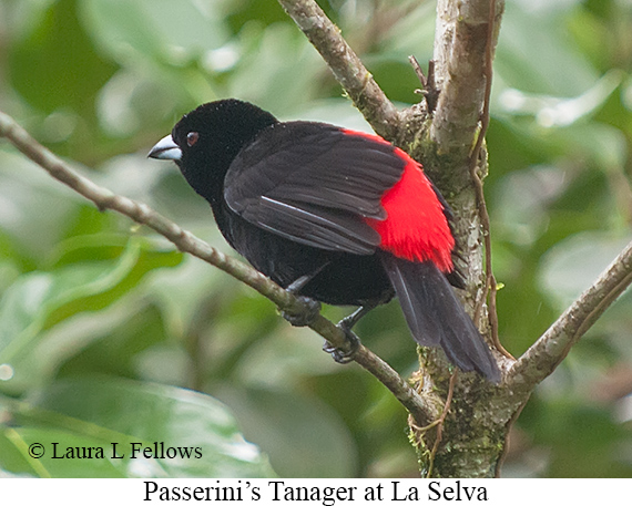 Passerini's Tanager - © Laura L Fellows and Exotic Birding LLC