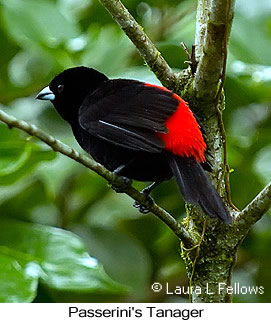 Passerini's Tanager - © Laura L Fellows and Exotic Birding Tours