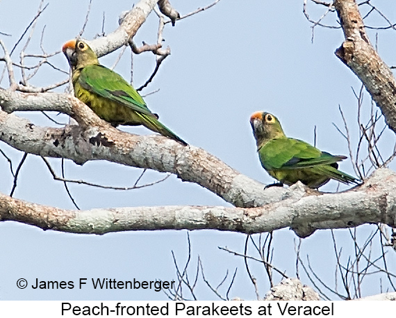 Peach-fronted Parakeet - © The Photographer and Exotic Birding LLC