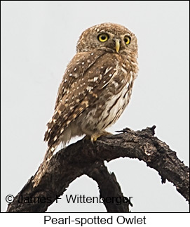 Pearl-spotted Owlet - © James F Wittenberger and Exotic Birding LLC