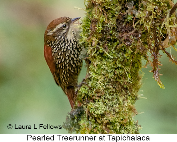 Pearled Treerunner - © Laura L Fellows and Exotic Birding Tours