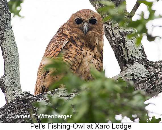 Pel's Fishing-Owl - © James F Wittenberger and Exotic Birding LLC