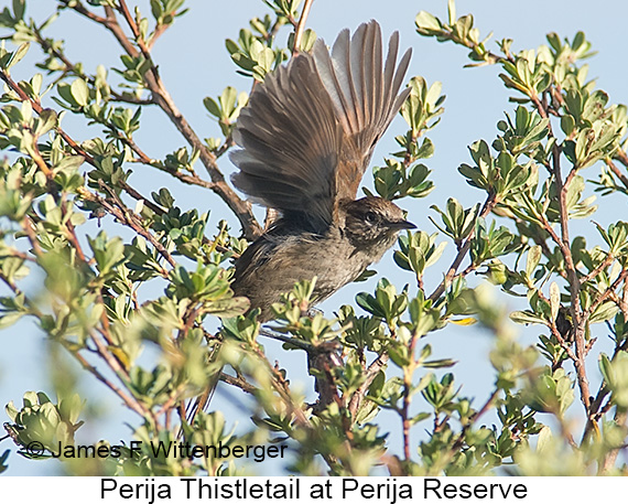 Perija Thistletail - © The Photographer and Exotic Birding LLC