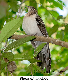 Pheasant Cuckoo - © Laura L Fellows and Exotic Birding Tours