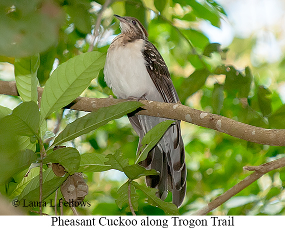 Pheasant Cuckoo - © Laura L Fellows and Exotic Birding LLC