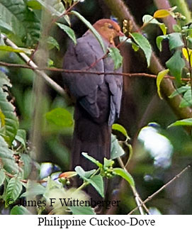 Philippine Cuckoo-Dove - © James F Wittenberger and Exotic Birding Tours