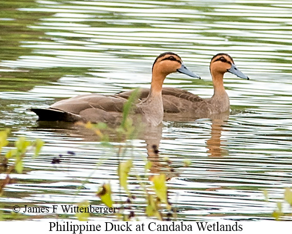 Philippine Duck - © James F Wittenberger and Exotic Birding Tours