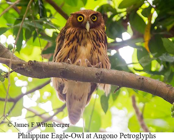 Philippine Eagle-Owl - © James F Wittenberger and Exotic Birding Tours