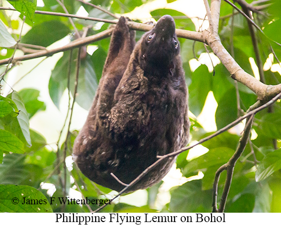 Philippine Flying Lemur - © James F Wittenberger and Exotic Birding Tours