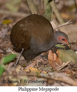 Philippine Megapode - © James F Wittenberger and Exotic Birding Tours