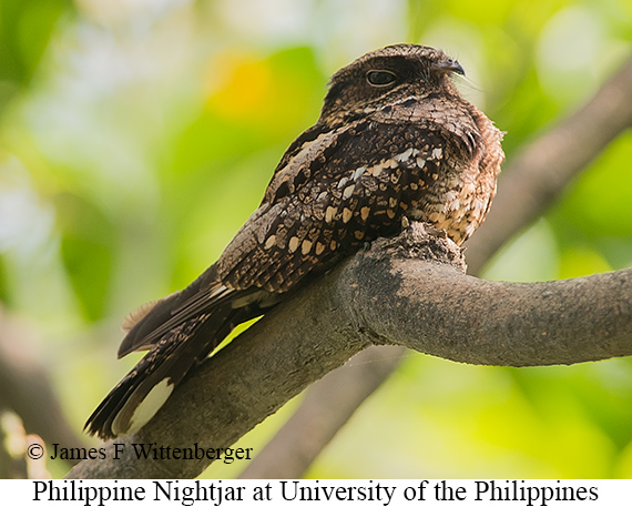 Philippine Nightjar - © James F Wittenberger and Exotic Birding Tours