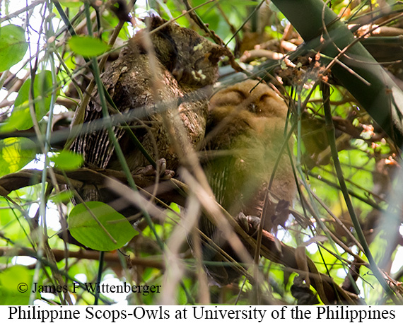 Philippine Scops-Owl - © James F Wittenberger and Exotic Birding Tours