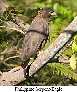 Philippine Serpent-Eagle - © James F Wittenberger and Exotic Birding Tours