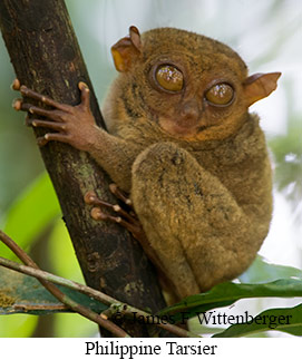 Philippine Tarsier - © James F Wittenberger and Exotic Birding Tours
