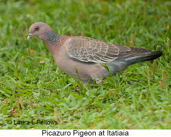Picazuro Pigeon - © Laura L Fellows and Exotic Birding LLC