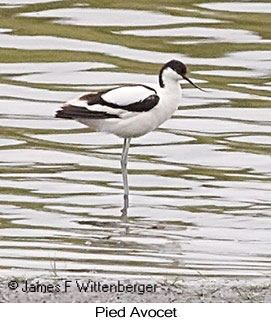 Pied Avocet - © James F Wittenberger and Exotic Birding LLC