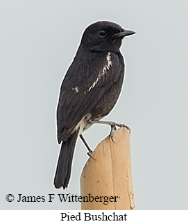 Pied Bushchat - © James F Wittenberger and Exotic Birding Tours