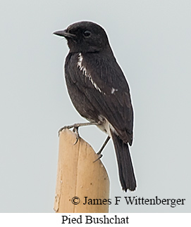 Pied Bushchat - © James F Wittenberger and Exotic Birding LLC