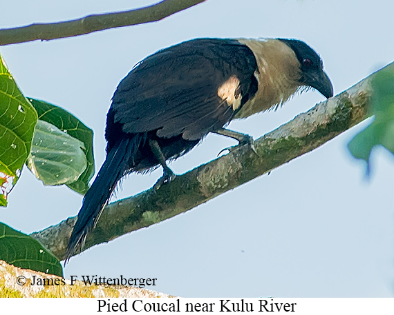 Pied Coucal - © James F Wittenberger and Exotic Birding Tours