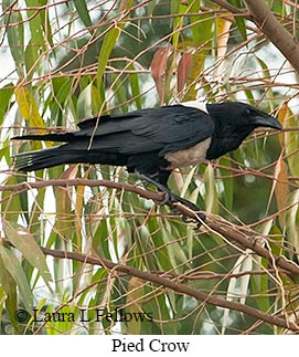 Pied Crow - © Laura L Fellows and Exotic Birding Tours